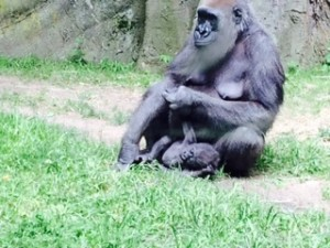 Gorilla mother and baby, Bronx Zoo.