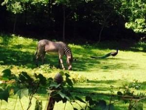 A Bronx Zoo Zebra