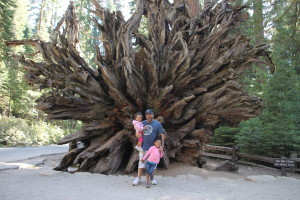 Hubby in girls in front of the huge roots of a fallen Sequoia.